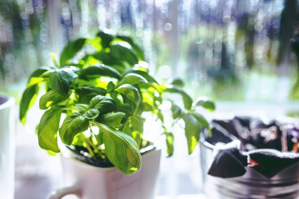 fresh basil grown indoors