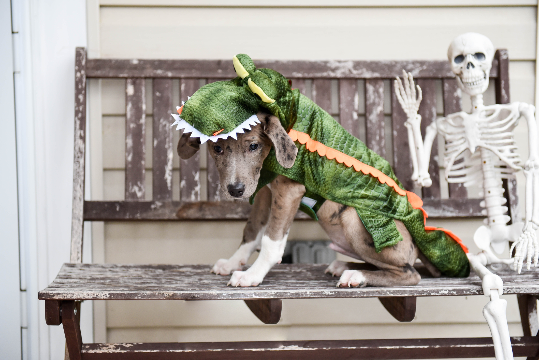 a dog in a halloween costume
