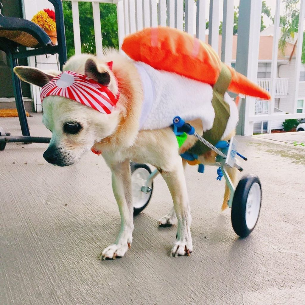 a dog dressed up as sushi