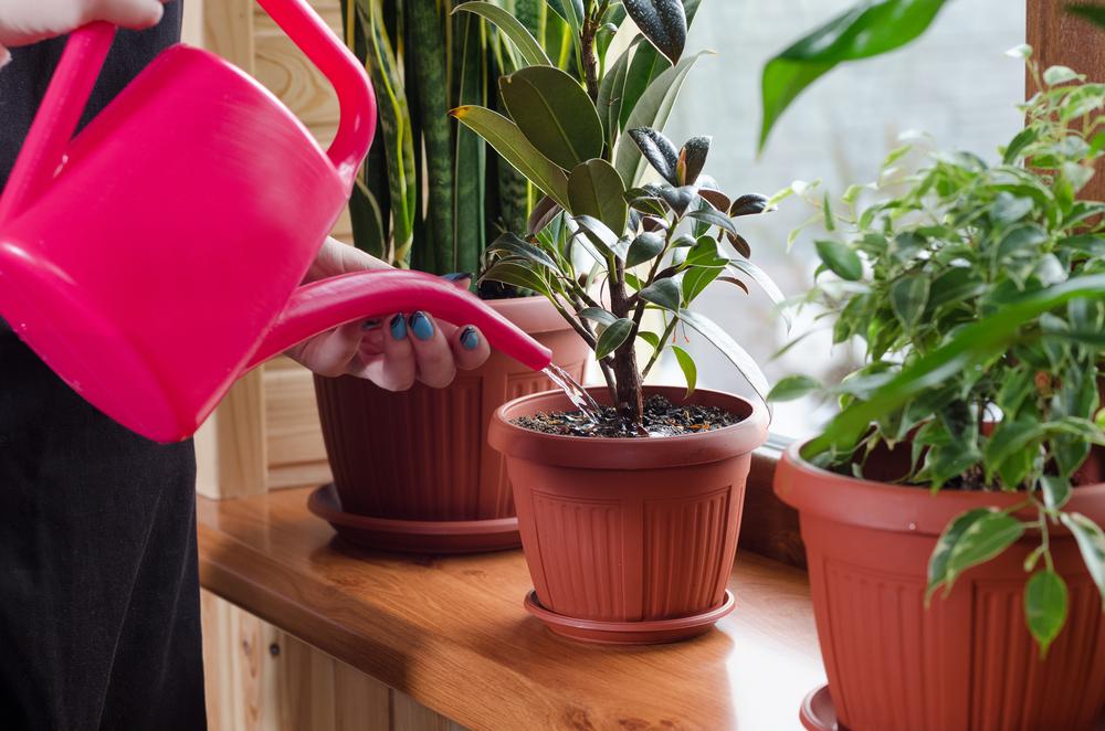 watering plants indoors