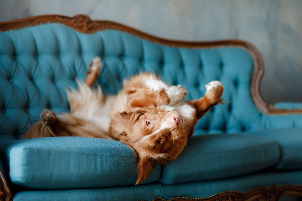 dog on a couch | sustainable pet-friendly living