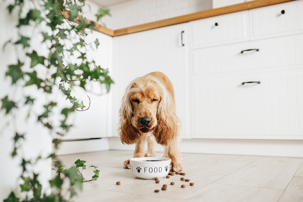 a cocker spaniel eating food | pet-friendly home decor tips