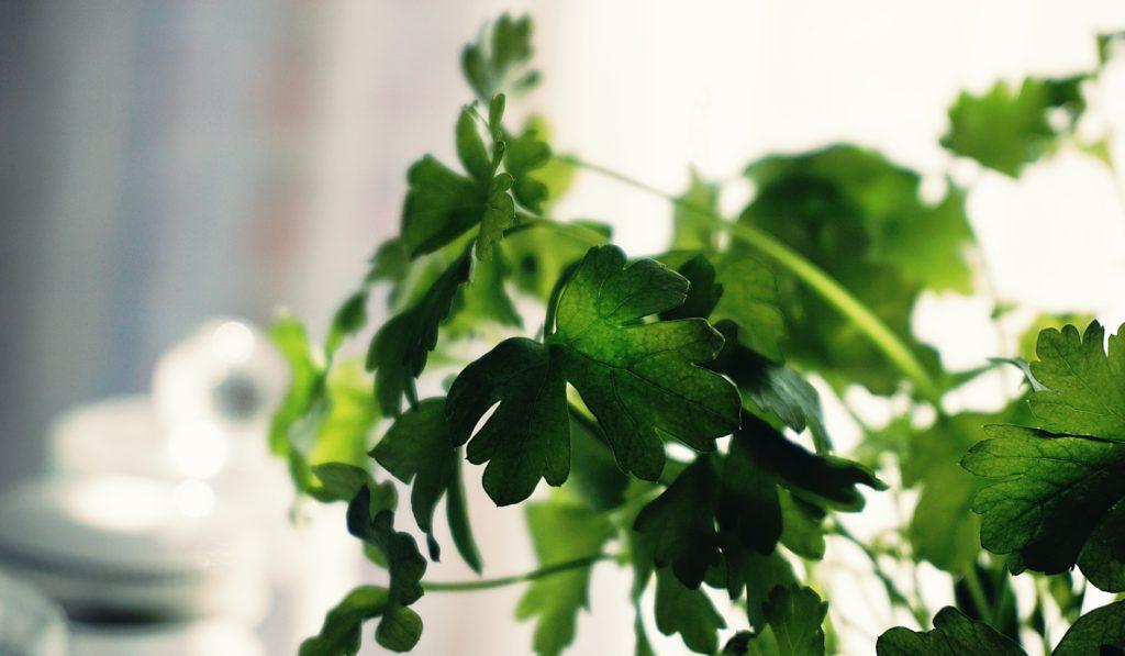 cilantro   tips for growing summer herbs indoors